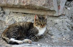 Gray striped cat on a stone wall background royalty free stock photo