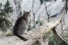 A gray striped cat on a trunk of a collapsed juniper tree is looking. Cat in the wild. Summer or spring. Forest royalty free stock photography