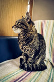 Gray striped cat Royalty Free Stock Image