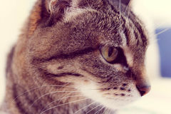 Gray striped cat Stock Images