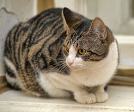Gray striped cat Stock Image