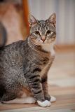 The gray striped cat with white paws and yellow eyes Royalty Free Stock Photography