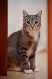 Gray striped cat with white paws and yellow eyes Stock Photos