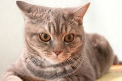 Gray striped domestic cat lying in the room.  Stock Photos