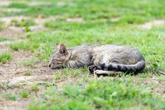 Gray striped domestic male cat lie down, sleeping and relax on the grass. In the garden Stock Photos