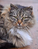 Gray striped fluffy cat Stock Photography