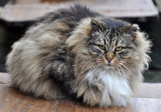Gray striped fluffy cat Royalty Free Stock Image