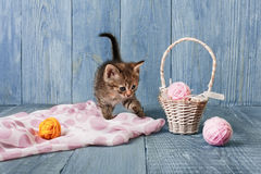 Gray striped kitten at blue wood Stock Image