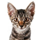 Gray striped kitten with a clever grimace. Isolated white Royalty Free Stock Images