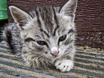 Gray striped kitten Royalty Free Stock Images