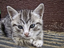 Gray striped kitten Royalty Free Stock Image