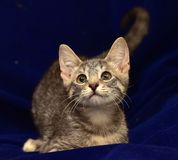 Gray striped kitten. On a blue background stock images