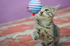 Gray striped kitten playing with a toy. royalty free stock photos