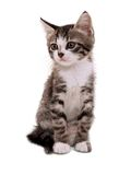 Gray striped kitten with a sad grimace. Isolated white Royalty Free Stock Image