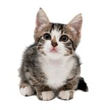 Gray striped kitten with a sad grimace. Isolated white Stock Images