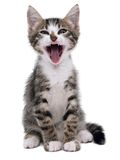 Gray striped kitten with shock grimace. Isolated white Royalty Free Stock Photo