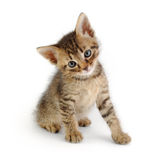Gray striped kitten, sittin. Cute gray striped kitten, sitting and looking at the viewer stock photos