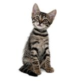 Gray striped kitten with a surprised grimace. Isolated white royalty free stock image