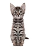 Gray striped kitten with a surprised grimace. Isolated white royalty free stock photos