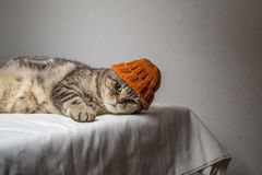 Gray striped scottish fold cat with a funny orange winter hat on his head lies on a table Royalty Free Stock Images