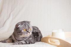 A gray striped Scottish Fold cat with yellow eyes. Sits on a blanket with cup of milk. Cute funny pet. The concept of home comfort, relaxation, morning