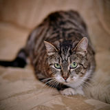 Gray striped shorthair cat. Stock Photography