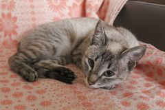 The gray striped sweet kitten. Gray striped kitten lying on the bedspread with a red pattern on the couch. The kitten looks straight into the camera stock photography