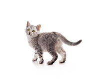 Gray striped tabby cat kitten. Isolated on white background royalty free stock images