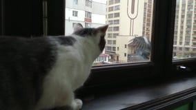 Gray striped tabby cat watching doves at balcony stock video