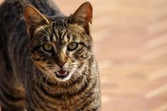 Gray striped tabby street cat showing fangs. Wallpaper Stock Photo