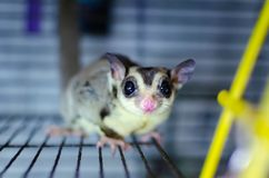Gray sugar glider. Petaurus breviceps arboreal gliding possum. Exotic animals in the human environment. Endangered species in captivity royalty free stock images