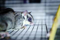 Gray sugar glider. Petaurus breviceps arboreal gliding possum. Exotic animals in the human environment. Endangered species in captivity stock images