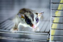 Gray sugar glider. Petaurus breviceps arboreal gliding possum. Exotic animals in the human environment. Endangered species in captivity royalty free stock photos