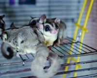 Gray sugar glider. Petaurus breviceps arboreal gliding possum. Exotic animals in the human environment. Endangered species in captivity stock photo