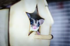 Gray sugar glider. Petaurus breviceps arboreal gliding possum. Exotic animals in the human environment. Endangered species in captivity royalty free stock image