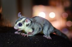 Gray sugar glider. Petaurus breviceps arboreal gliding possum. Exotic animals in the human environment. Endangered species in captivity stock photos