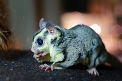 Gray sugar glider. Petaurus breviceps arboreal gliding possum. Exotic animals in the human environment. Endangered species in captivity royalty free stock photography