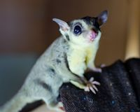 Gray sugar glider. Petaurus breviceps arboreal gliding possum. Exotic animals in the human environment. stock photo