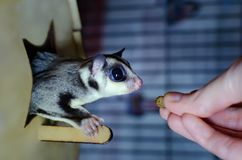 Gray sugar glider. Petaurus breviceps arboreal gliding possum. Exotic animals in the human environment. Endangered species in captivity stock photography