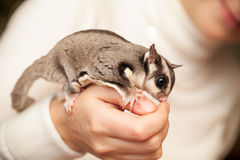 Gray sugar glider seats on woman hand. Gray sugar glider. Petaurus breviceps, arboreal gliding possum seats on woman hand, macro photo with selective focus Stock Photo