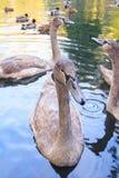 Gray swan Royalty Free Stock Image
