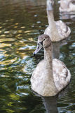 Gray swan Royalty Free Stock Images