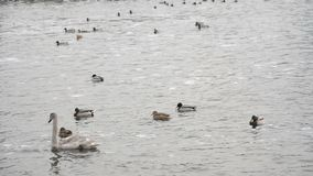 Gray swan and ducks. In the cty winter lake stock video footage