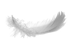 Gray swan feather Royalty Free Stock Image