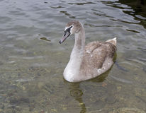 The gray swan floating on water Stock Photography
