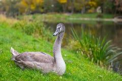 Gray Swan-rust in het gras dichtbij vijver nave royalty-vrije stock afbeeldingen