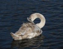 Gray swan Stock Image