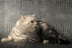 Gray tabby british cat Stock Photo
