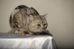 Gray tabby british cat Royalty Free Stock Images