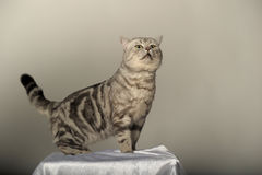 Gray tabby british cat Royalty Free Stock Image